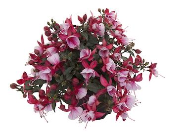 Fuchsia Bella Hilda Earley Ornamentals