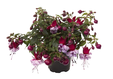 Fuchsia Bella Julia Earley Ornamentals