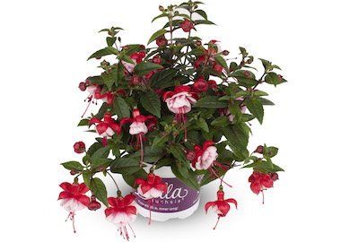 Fuchsia Bella Laura Earley Ornamentals