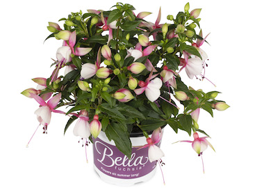 Fuchsia Bella Lisa Earley Ornamentals