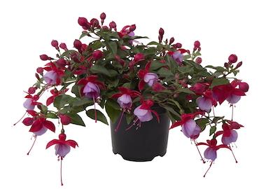Fuchsia Bella Lydia Earley Ornamentals