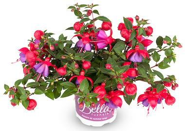 Fuchsia Bella Maria Earley Ornamentals