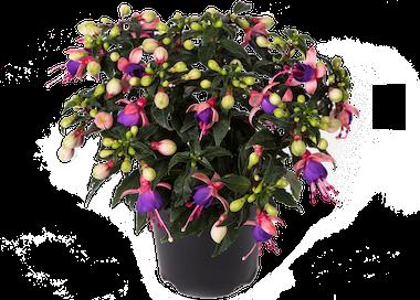 Fuchsia Bella Mariska Earley Ornamentals