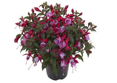 Fuchsia Bella Nikita Earley Ornamentals