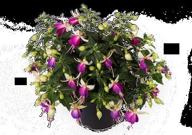Fuchsia Bella Nora Earley Ornamentals