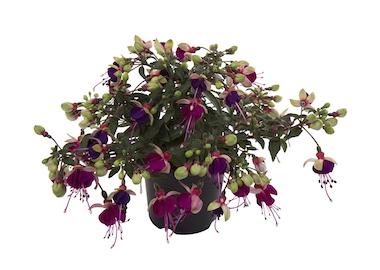 Fuchsia Bella Olivia Earley Ornamentals