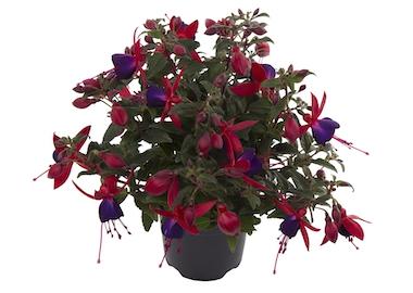 Fuchsia Bella Sacha Earley Ornamentals