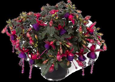 Fuchsia Bella Soila Earley Ornamentals