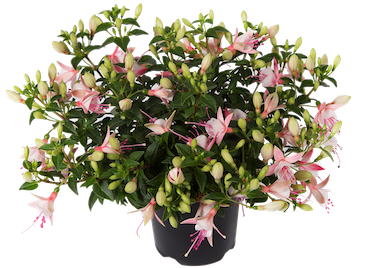 Fuchsia Bella Sophia Earley Ornamentals