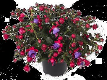 Fuchsia Bella Susanna Earley Ornamentals