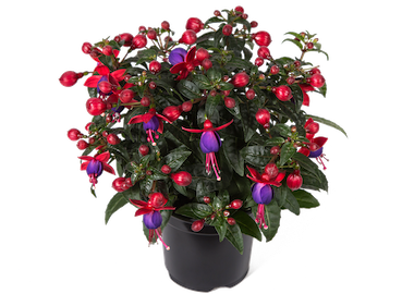 Fuchsia Bella Vera Earley Ornamentals