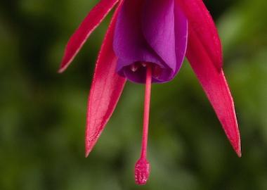 Fuchsia Benisser Hardy Earley