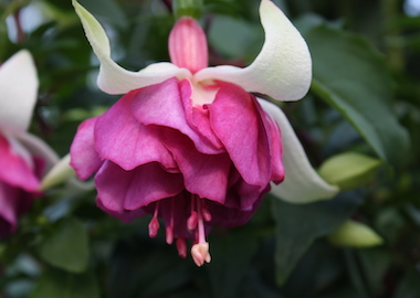 Fuchsia Flying Scotsman Earley