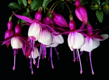 Fuchsia Patio Princess Earley