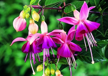 Fuchsia Paula Jane Earley