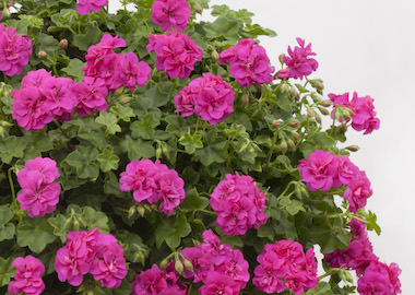 Geranium Green Leaf Sel Sunrise Earley Ornamentals