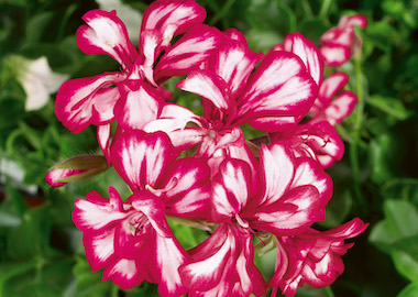 Geranium Ivy Leaf Non Royalty Varieties Earley Ornamentals
