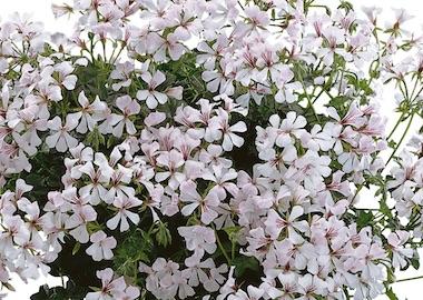 Geranium Ivy Leaf Pac Vie de Dresden Earley Ornamentals
