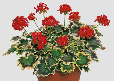 Geranium Specialities Coloured Leaf Earley Ornamentals