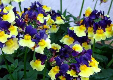 Nemesia Aroma Plums & Custard Earley Ornamentals