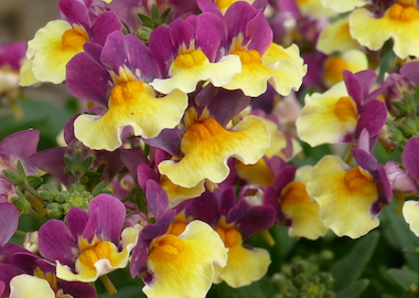 Nemesia Aroma Rhubarb and Custard Earley Ornamentals