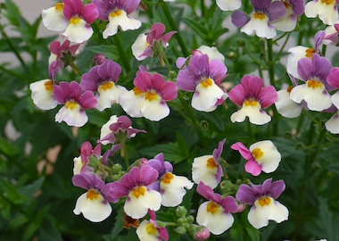 Nemesia Cream Surprise Earley Ornamentals