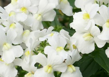 Nemesia Sunpeddle White Perfume Earley Ornamentals