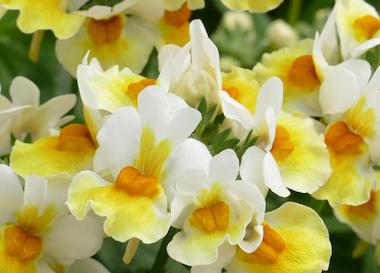 Nemesia Sunpeddle Yellow White Earley Ornamentals