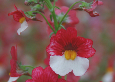 Nemesia Sunsatia Plus Cherry on Ice Earley Ornamentals