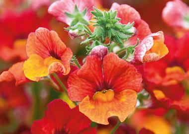 Nemesia Sunsatia Plus Papaya Earley Ornamentals