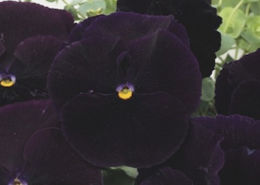 Pansy Premier Clear Purple Earley Ornamentals