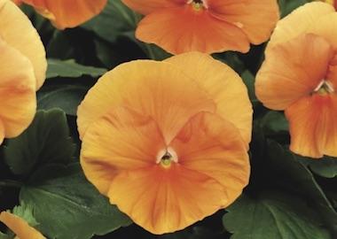 Pansy Premier Deep Orange Earley Ornamentals