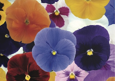 Pansy Premier F1 Autumn Mix Earley