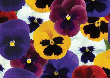 Pansy Premier F1 Blotch Mix Earley Ornamentals