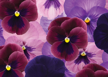 Pansy Premier F1 Forest Fruits Mix Earley Ornamentals