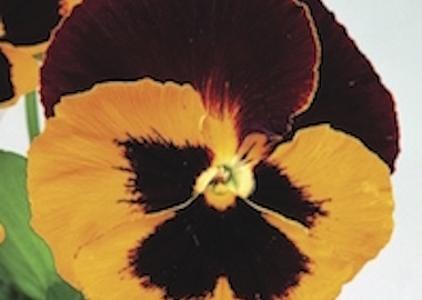 Pansy Premier Red Yellow Earley Ornamentals