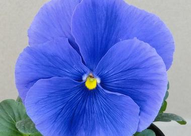 Pansy Premier True Blue Earley Ornamentals