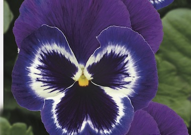 Pansy Premier Violet Face Earley Ornamentals
