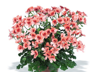 Pelargonium Angeleyes Earley Ornamentals