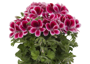Pelargonium Regalia Earley Ornamentals