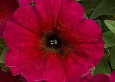 Petchoa Beautical Bordeaux Earley Ornamentals