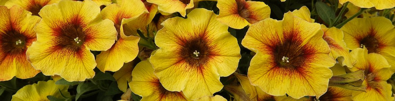 Petchoa Beautical Caramel Yellow Earley Ornamentals