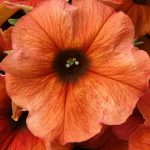 Petchoa Beautical Cinnamon Earley Ornamental