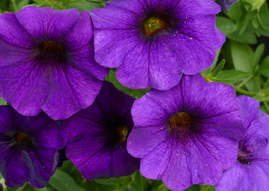 Petchoa Supercal Blue Earley Ornamentals