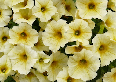 Petchoa Supercal Light Yellow Earley Ornamentals