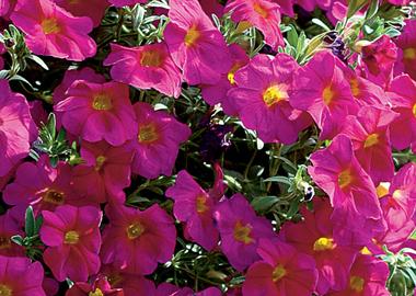 Petchoa Supercal Neon Rose Earley Ornamentals