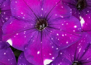 Petunia Constellation Aries Earley Ornamentals