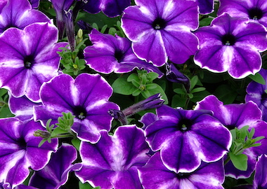Petunia Designer Inksplash Earley Ornamentals