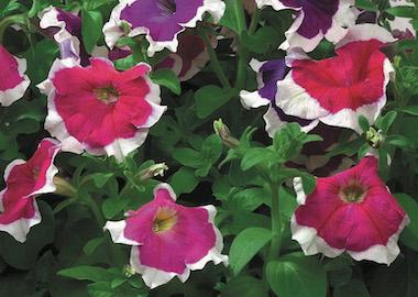 Petunia Hulahoop Earley Ornamentals