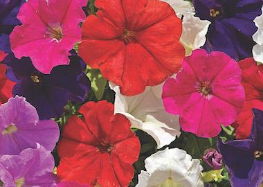 Petunia Milliflora Picobella Earley Ornamentals